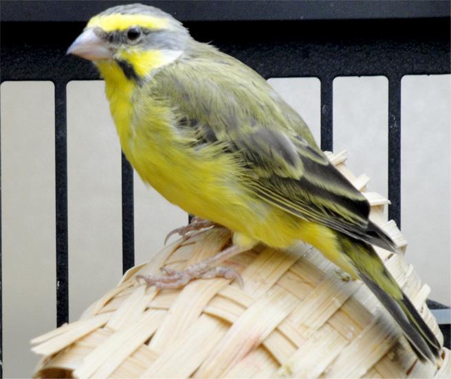 Mason_bird_2